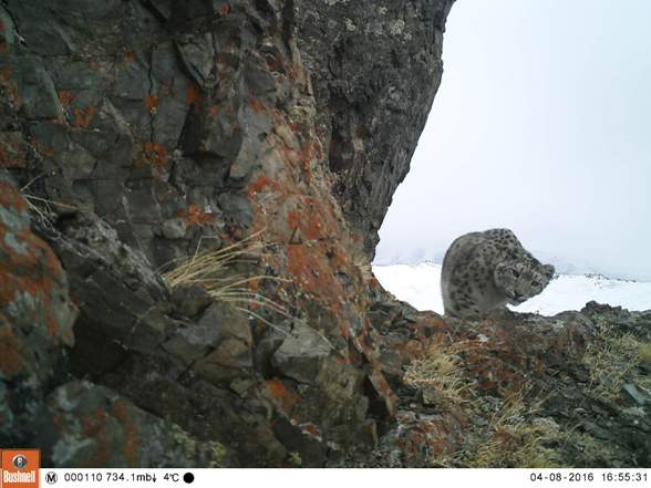 ВРеспублике Алтай пересчитают снежных барсов